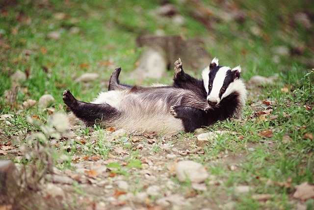 Happy Badger.jpg