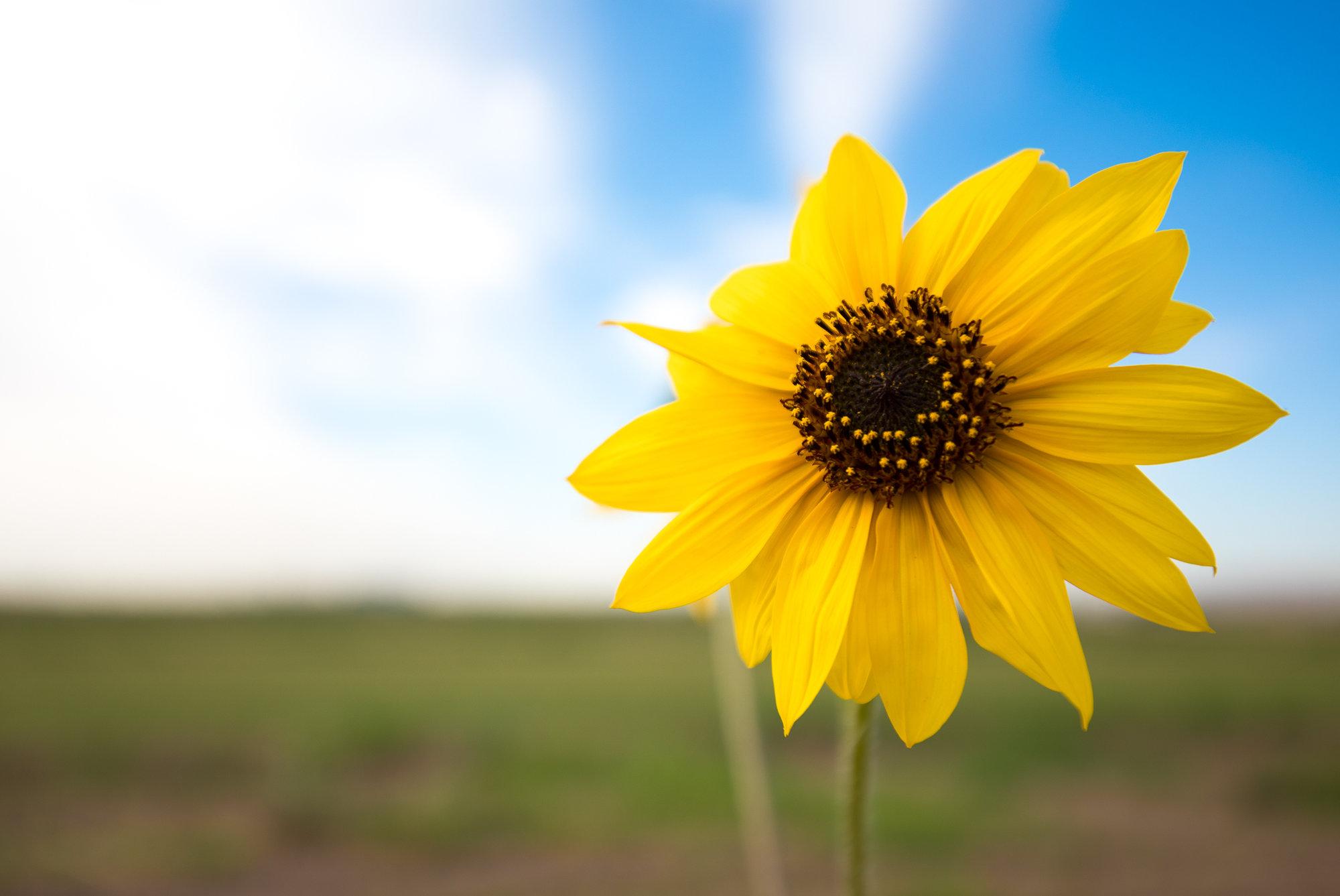 SmallSunflower-1.jpg