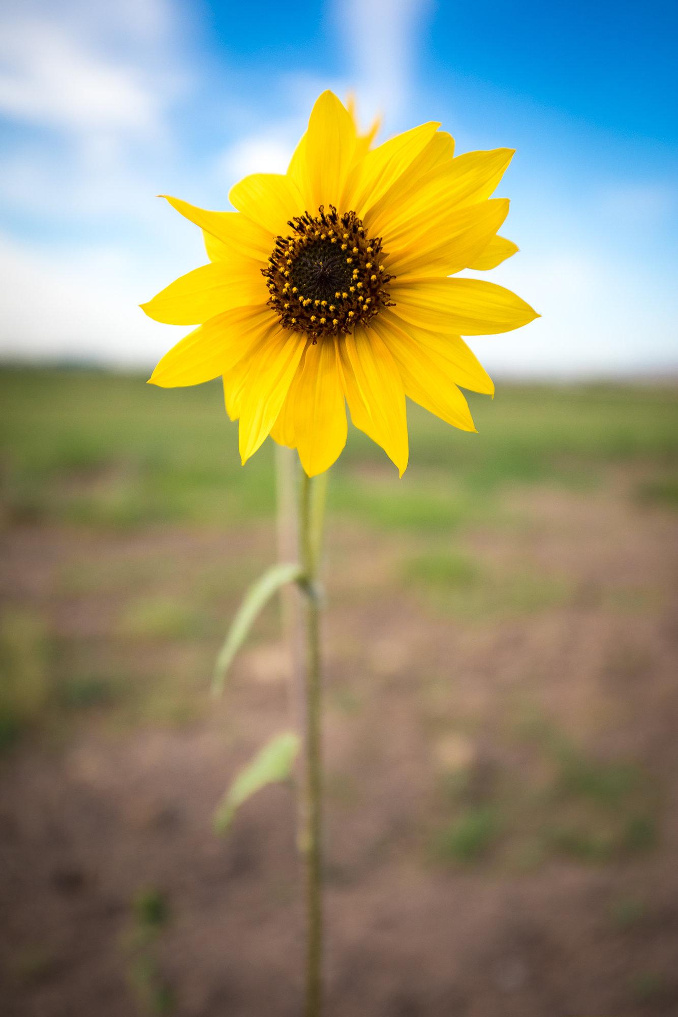 SmallSunflower-2.jpg