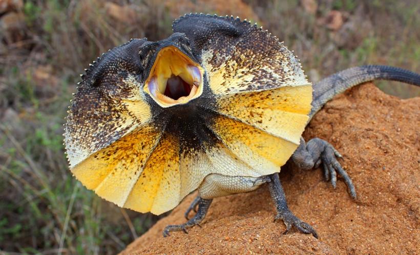 frilled-lizard-.jpg
