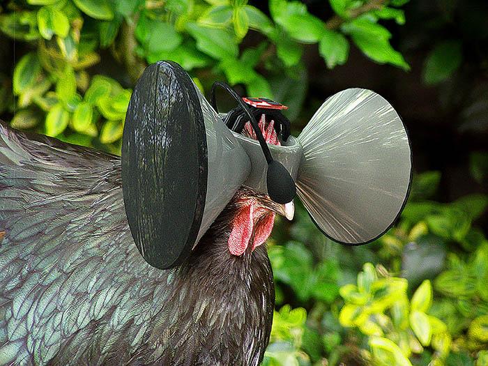 cluck,cluck.jpg
