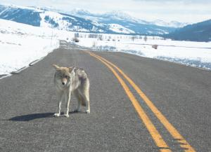 Yellowstone-Wolf1.png