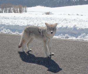 Yellowstone-Wolf2.png